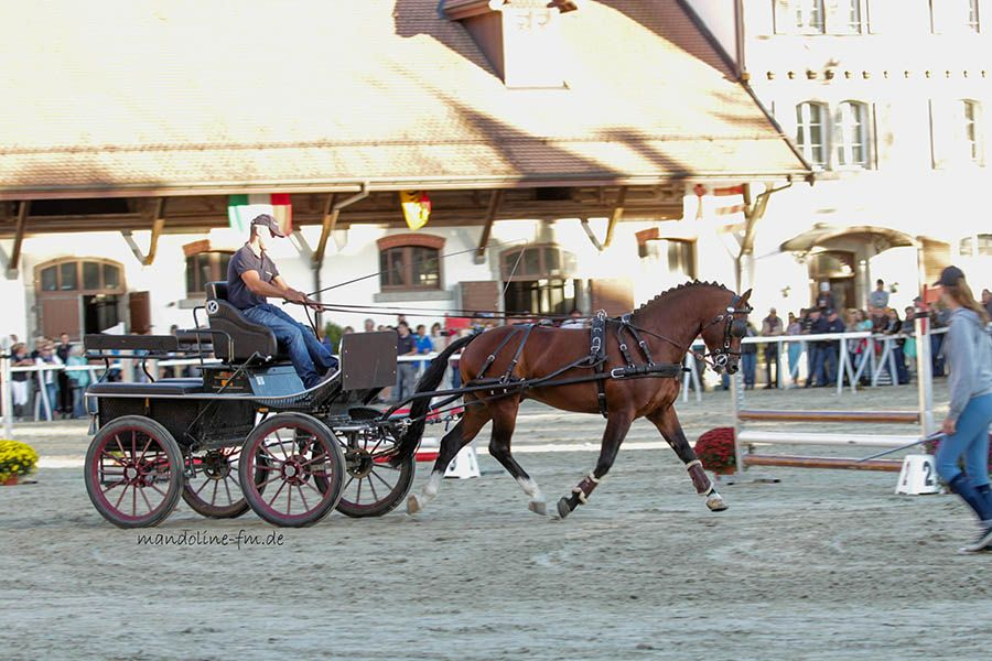 Freiberger Pferd, FM Hengst Don Ovan Equus Helvéticus Final National FM Stübben Derby 2015