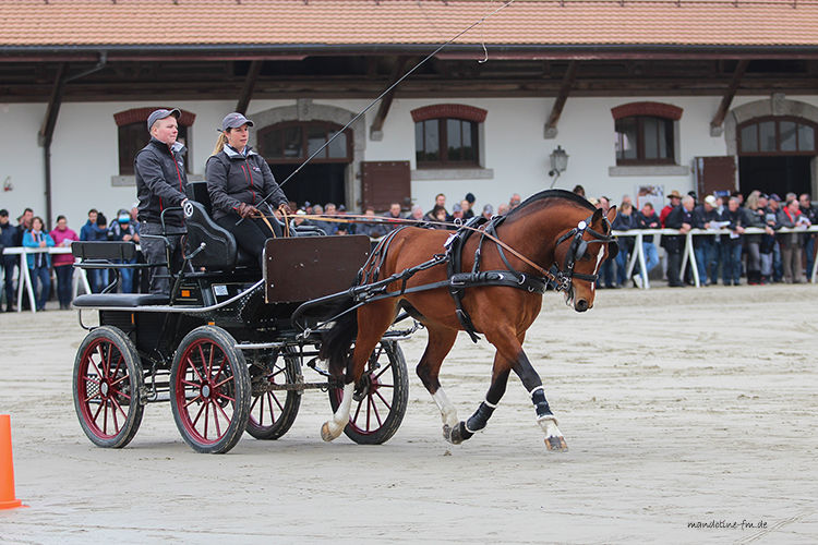 FM Hengst Nordica de la Bourgis (Never BW/ Don Fenaco/ Cajoleur), Stationstest Avenches 2019, Freiberger Pferd
